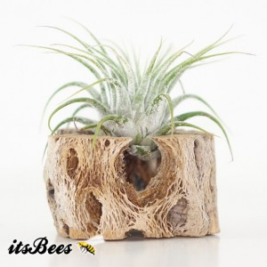 2 Air Plant Cholla Magnets - Wedding, Guests, Office, Dorm, Cubicle, Gift, Favor