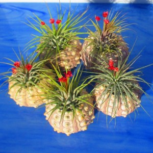 Air plants, air planter, air plant bulk, sputnik air plant holders, valentines, valentines day gift, plant lover gift, air plant holder,
