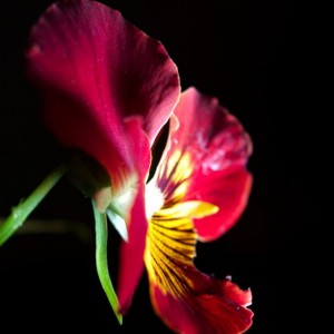 """Photograph Print """"Red on Black"""" - Flower Photography - Pansy"""