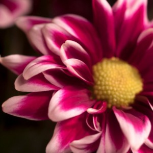 """Photograph Print """"Pink"""" - Flower Photography"""