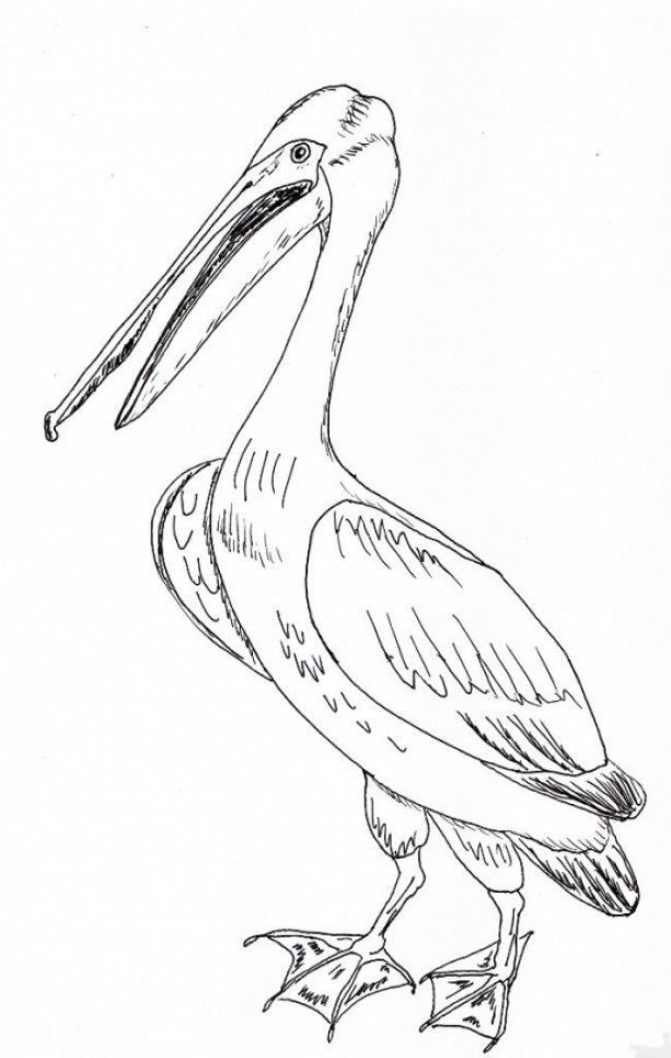 Pelican Bird Black and White Original Art Illustration Drawing Ink Nature Animal Beach House Decor 7.5 x 11.5