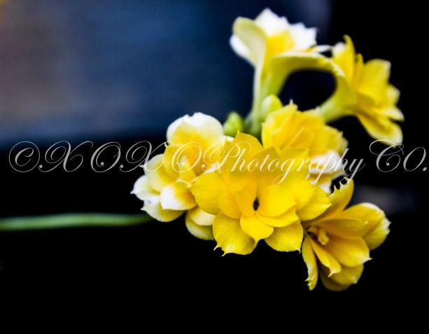 Kalanchoe Double Flower Photograph