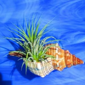 Aquarium Fish Tank Natural Live plant Holder, Conch shell, aquarium décor, Fish tank decor