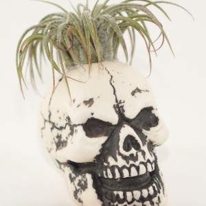 "Mini 2"" Skull Planter - Air Plant, Succulent, Cactus, Haworthia"