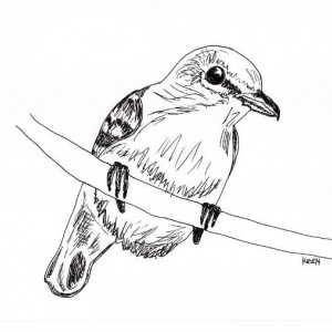 Lilac Breasted Roller Bird Black and White Original Art Illustration Drawing Ink Nature Animal Home Decor 11 x 7.5