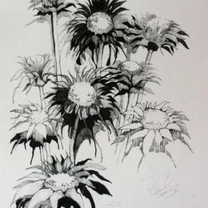 Pencil Drawing of Sunflowers