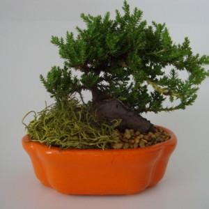 Small Juniper Bonsai - Japanese Dwarf Juniper - You Pick Color - Zen, Gift