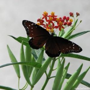 Queen butterfly (Danaus gilippus) 5x7 photo