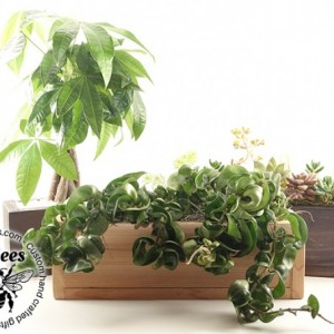 Narrow Hoya Rope Garden - Handmade Natural, Recycled & Stained Wood - Carnosa Compacta - Home, Office, Gift, Housewarming