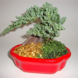Small Juniper Bonsai - Japanese Dwarf Juniper - You Pick Color - Zen, Gift