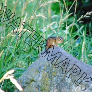 """Chipmunk"" nature photograph- black 8x10 frame with cream matte, in art, signed"