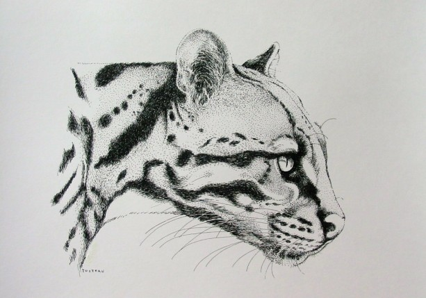 Pen & Ink Drawing of a Tiger