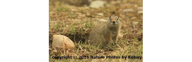 Looking into the Eyes of a Wyoming Ground Squirrel 4x6 photo