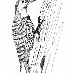Northern Flicker Woodpeceker Bird Black and White Original Art Illustration Drawing Ink Nature Animal Home Decor 7 x 11