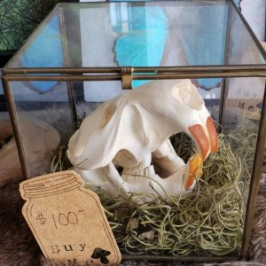 Wunderland Antiques // Beaver skull in antique glass box