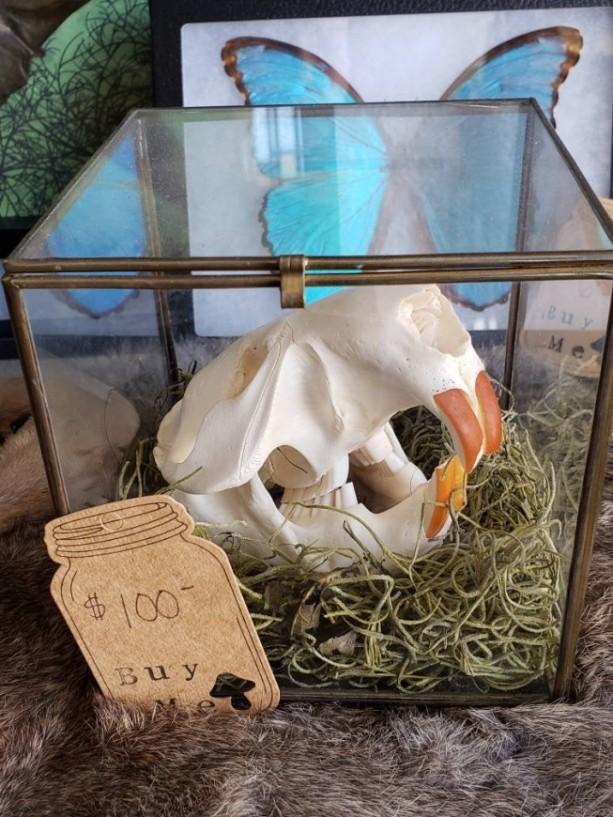 Wunderland Antiques // Beaver skull in antique glass box