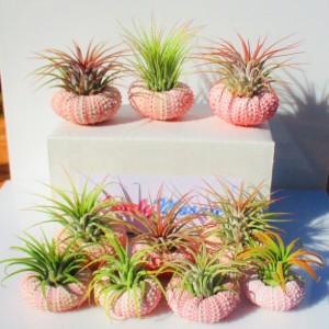 Air plants, air plant bulk, 10 pink sea urchin shells Beautiful air plants Air plants, air plant hanger, air plant holder, air plant gift