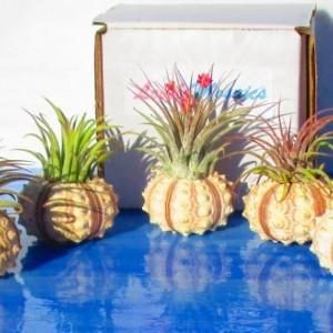 Air plants, air plant bulk, air plant holder, air plant gift, valentines gift, valentines day gift, valentines, plant lover gift, sputnik