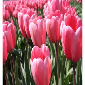 Pink Tulips Photograph Fabric Panel