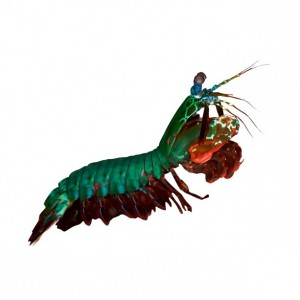"Peacock Mantis Shrimp - Odontodactylus scyllarus - Wall Decal 20"" x 13.3"""