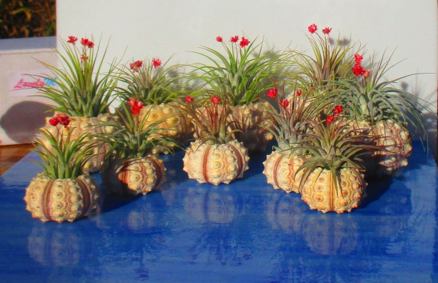 Bulk Air Plants, Air plants, air plant holder, air planter, air plant planter, sea urchn planter, sea urchin air plants, valentines, planter