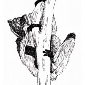 Indri Lemur Babakoto Madagascar Black and White Original Art Illustration Drawing Ink Nature Animal Home Decor 7.5 x 11