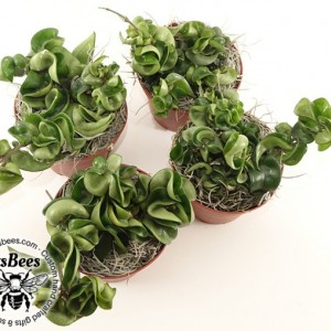 "Carnosa Compacta in 4"" Pot - Hindu Hoya Rope - Exotic Angel Plant - Wax Plant"