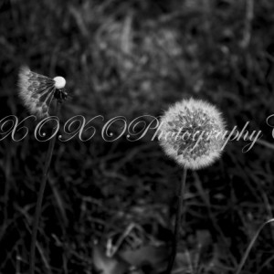 Black and White Dandelion Print