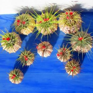 Bulk Air Plants, Air plants, air plant holder, air planter, air plant planter, sea urchn planter, sea urchin air plants, valentines, planter