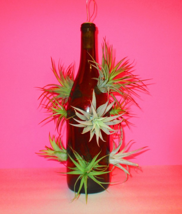 Air Plants, Upcycled air plant, upcycled wine bottle, air plant holder, Air plants bulk-Lighted Wine bottle-Air plant gift, air plant hanger