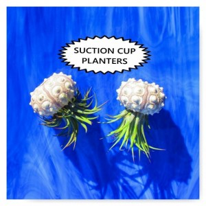 Air plants, air plant bulk, Set of 3 Air Plant Holders, Air Plants, Air Plant gift, Jellyfish, Sputnik Urchin
