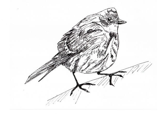 Yellow Rumped Warbler Bird Black and White Original Art Illustration Drawing Ink Nature Animal Home Decor 10 x 7.5
