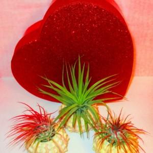 AIR PLANT gift, Valentine, Valentine day gift, Valentines gift box, Air plant holder, plant lovers gift,  Valentines day gift for her, GiFt