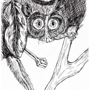 Indri Lemur Babakoto Madagascar Black and White Original Art Illustration Drawing Ink Nature Animal Home Decor 7.5 x 11