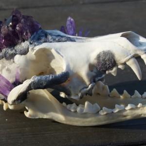 Amethyst Crystal Skull Coyote Taxidermy