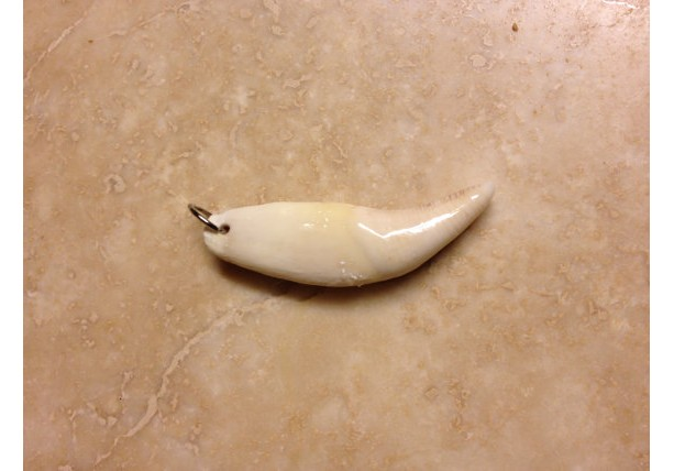 Real Bear tooth pendant native american made