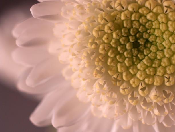 "Photograph Print ""Mum"" - Flower Photography - Mum"