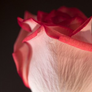 "Photograph Print ""Pink on Black"" - Flower Photography - Rose"