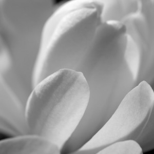 "Photograph Print  ""Magnolia"" - Flower Photography - Magnolia"