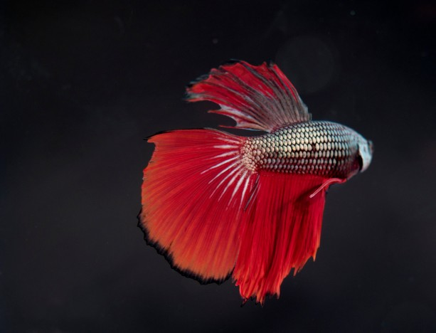 "Photograph Print ""Talk to the Fin"" - Animal Photography - Aquatic Photography - Betta - Fish"