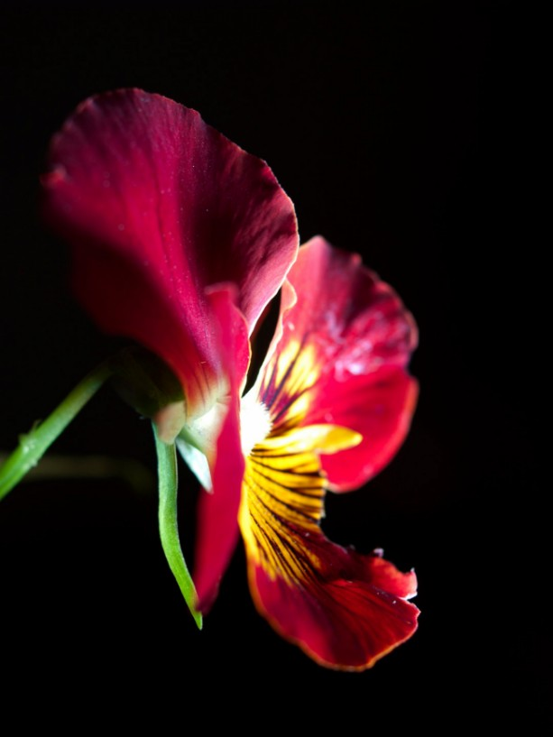 "Photograph Print ""Red on Black"" - Flower Photography - Pansy"
