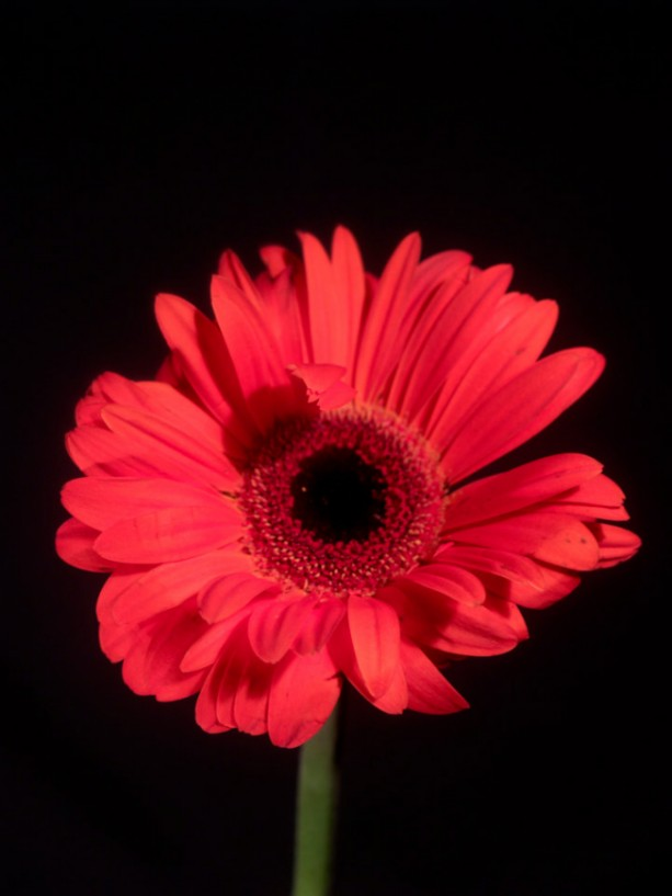 """Photograph Print """"Black and Red"""" - Flower Photography"""