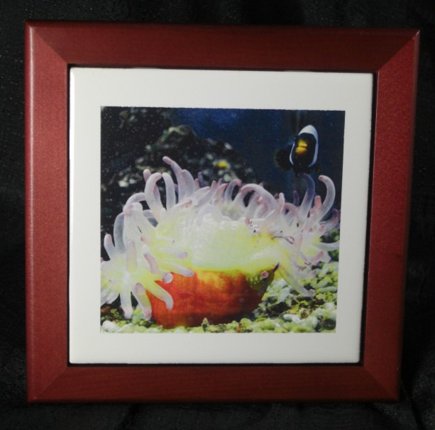 Sea Anemone and Clown Fish Tile on Rosewood Frame