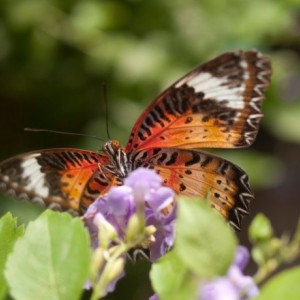 "Photograph - Butterfly - ""Lacewing"" - Butterfly Photography"
