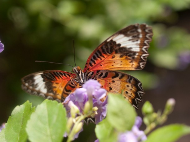 """Photograph - Butterfly - """"Lacewing"""" - Butterfly Photography"""