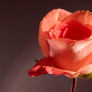 "Photograph Print ""Falling Petals"" - Flower Photography - Rose"