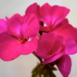Bundles of Pink Joy