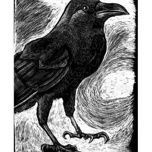 Crow - Rook - Raven - Print from illustration